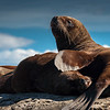 Lobo Marino de Un Pelo (South American Sea Lion)