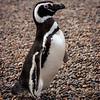 Pingüino patagónico (Magellanic Penguin)