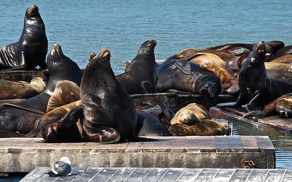 Pier 39 Sealions San Francisco CA