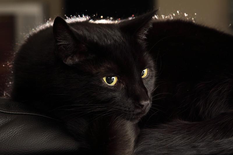 Domestic Short Hair Cat
