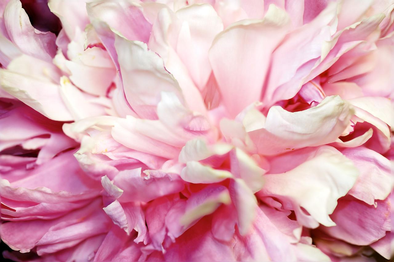 Pink white peony macro.