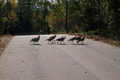 Wild Gang (of Turkeys)