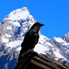 GTNP Raven