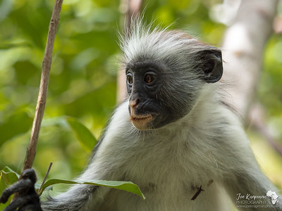 Curious Kirk's Red Colobus Monkey