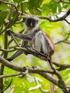A young red colobus Monkey in Zanzibar