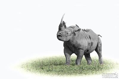 The Endangered Black Rhino