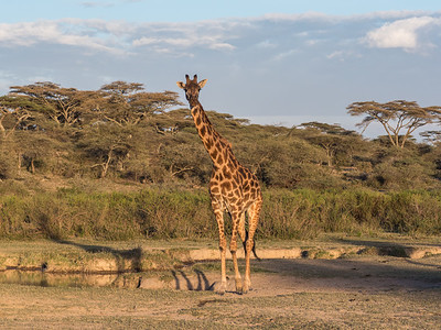 Masai Giraffe in Ndutu