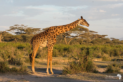 evening with a masai giraffe
