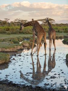 reflections of giraffe