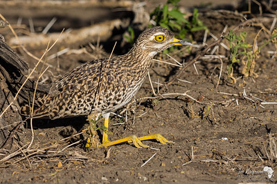 Spotted Thick-knee in Tanzania