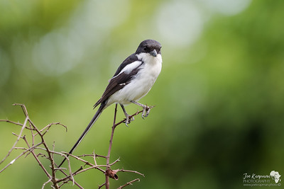 Fiscal Shrike in Ngorongoro