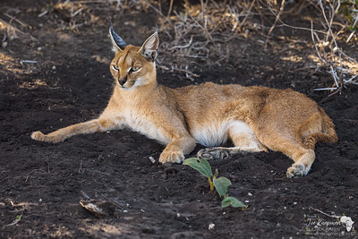 Wide eyed Caracal