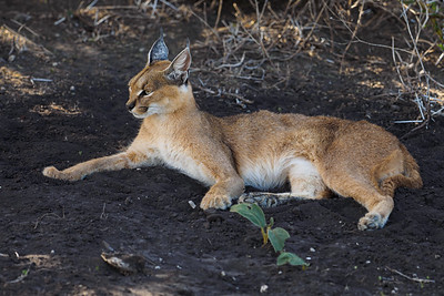 A beautiful relaxed caracal