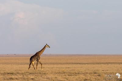 Giraffe crossing the open plains