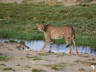 A female cheetah checks us out in Lake Masak, Tanzania