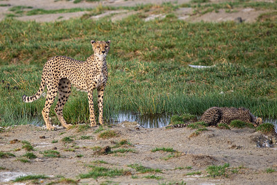 Cheetah watches out as her cub drinks from a stream