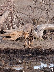 Cheetah cub 1
