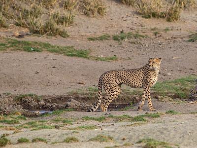 Female Cheetah in Lake Masek