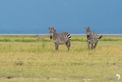Zebras at Manyara