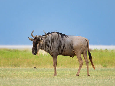 Wildebeest in Manyara against the backdrop of the Ngorongoro Mountains