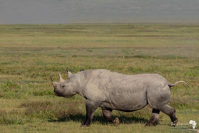 Black Rhino on the go