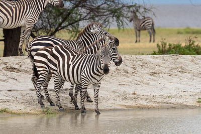 Zebras visit the water hole