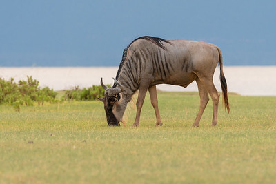 Wildebeest Grazing at Lake Manyara