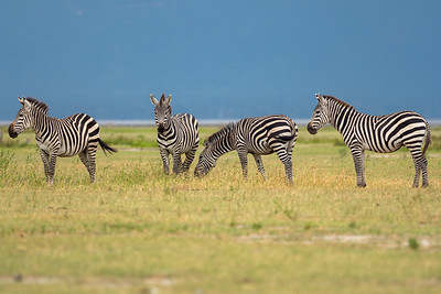 Zebra at Lake Manyara