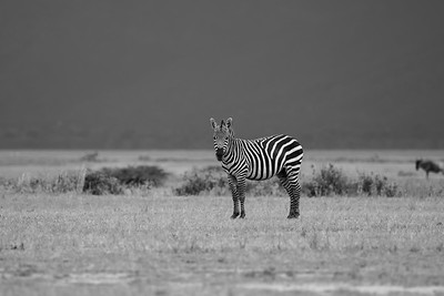 Zebra in Monochrome