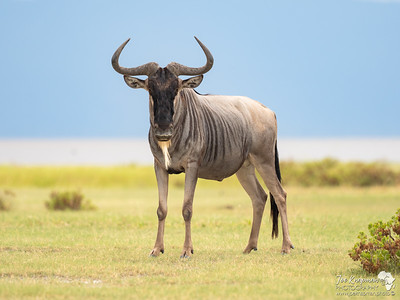 Wildebeest at Manyara