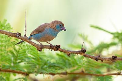 Female red-cheeked cordonblue