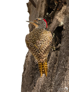 Female Nubian Woodpecker