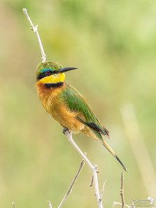 Little Bee-eater hanging out in Manyara