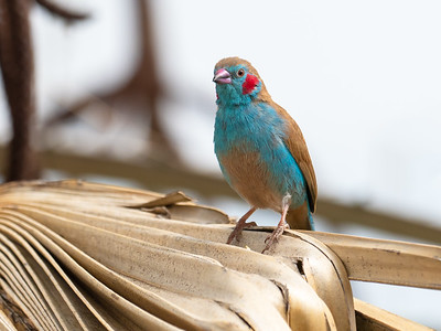 Red-Cheeked cordonbleu