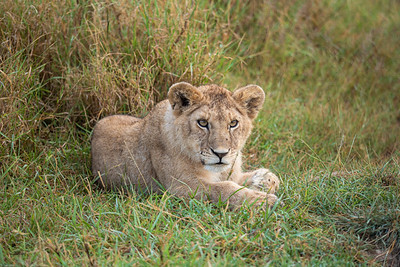 A young lion cub in the Serengeti
