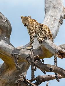 Pretty leopardess