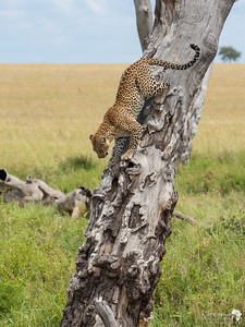 Leopard descends from the tree