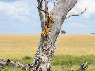 A leopardess comes down showing her agility