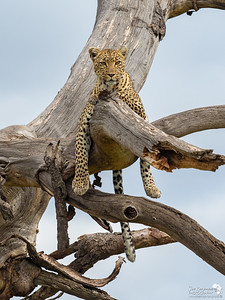 Relaxed Leopardess