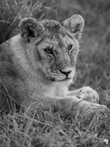 B&W Lion Cub Portrait