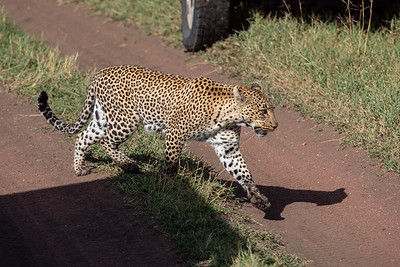 A very confident leopardess passes between our vehicles