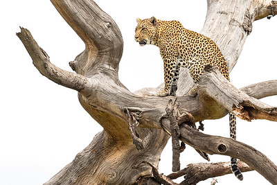 Leopardess watching over the Serengeti