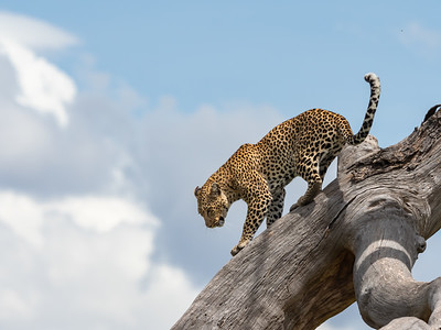 Sure footed leopard