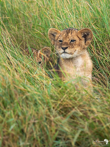 Little cub peeking out of the grass