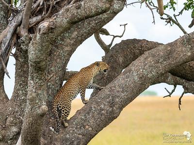 Leopard Climbing a Sausage Tree