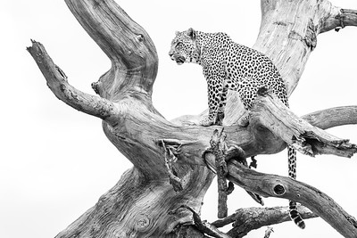 Leopardess looking over the Serengeti