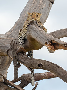 Relaxed Leopard