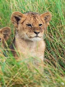 Lioncub portrait