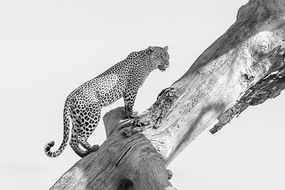 Monochrome Leopardess