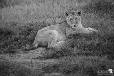 Young lion in mono